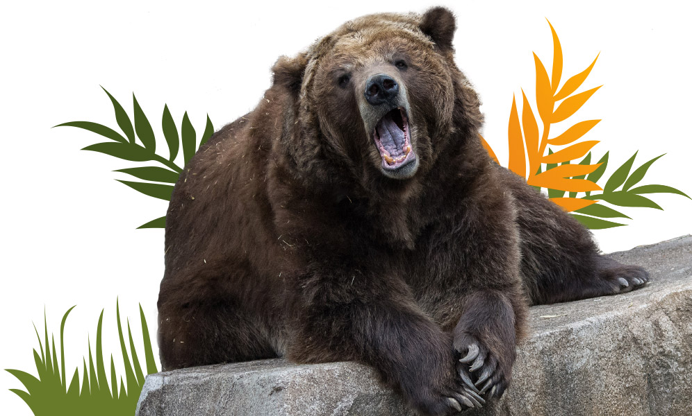 Grizzly Bear Sitting On A Rock