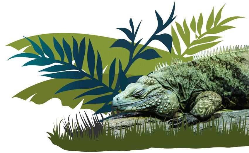 Iguana Intro Image