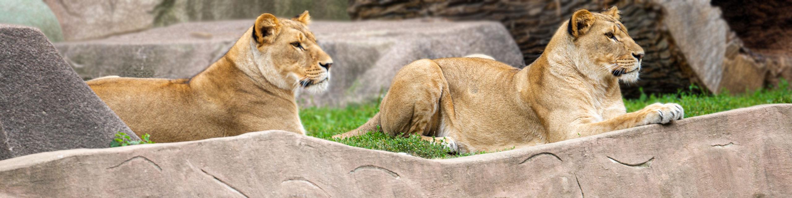 Contact Photo - Lions