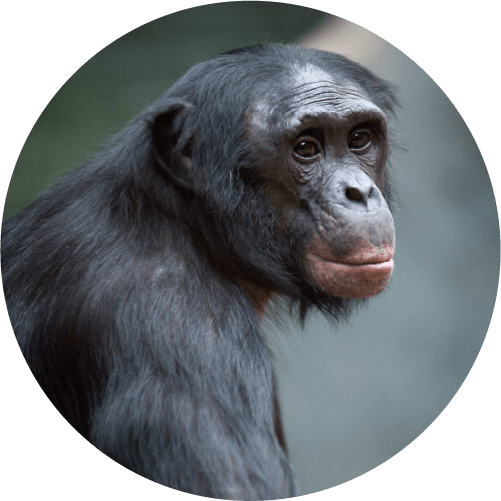 Picture Of Bonobo