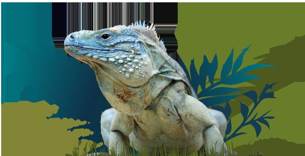 Iguana Conservation Intro