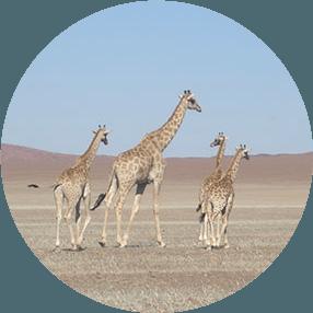 Giraffe Conservation Icon