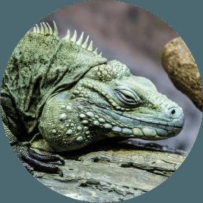 Iguana Conservation Icon