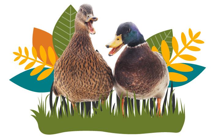 Ducks Intro Image