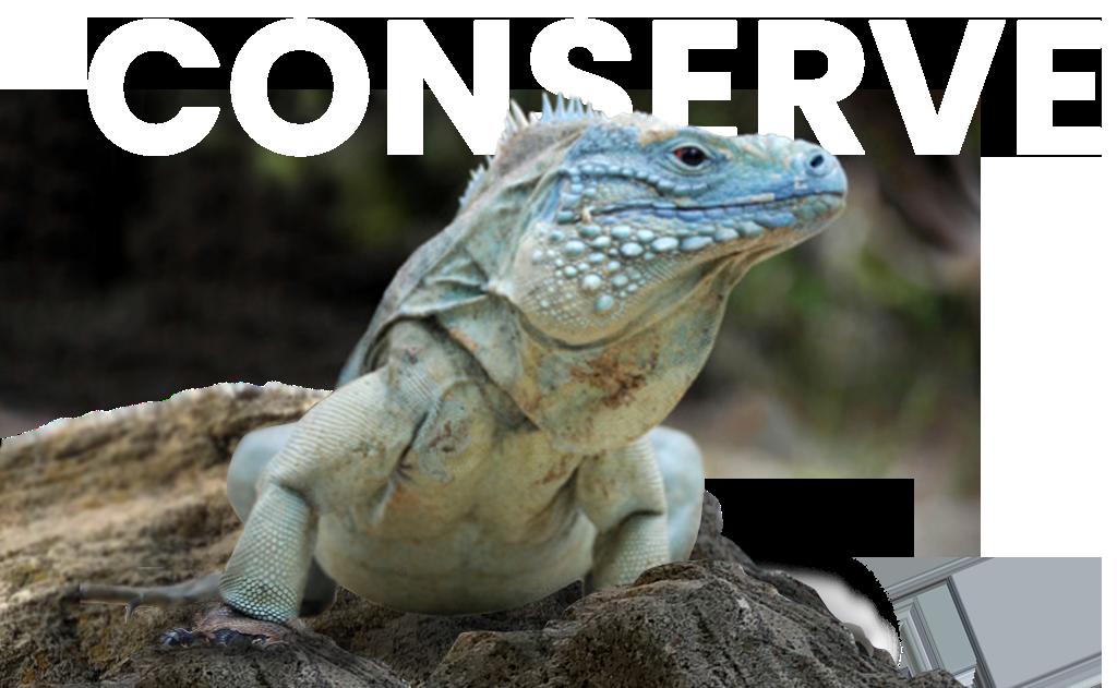 Conserve Iguana