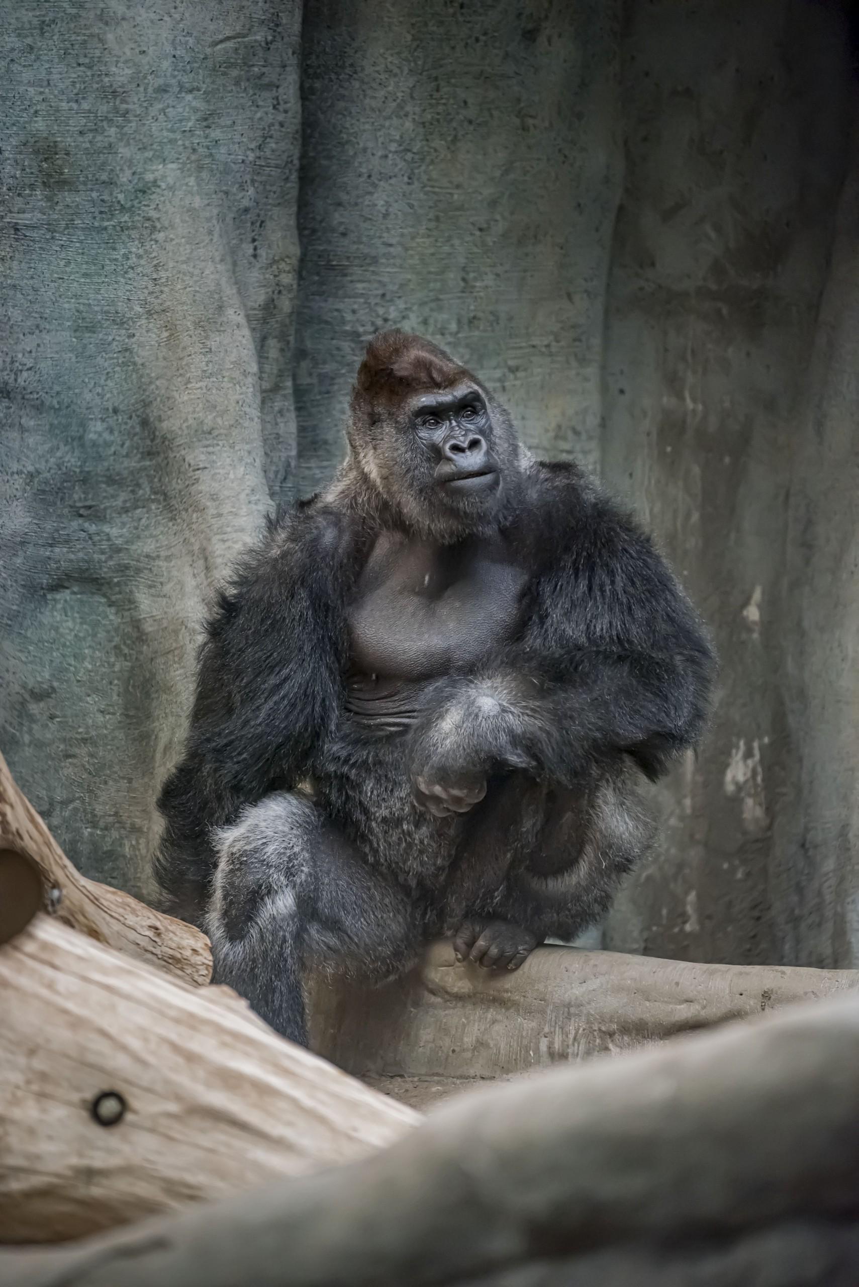 Gorilla Oliver